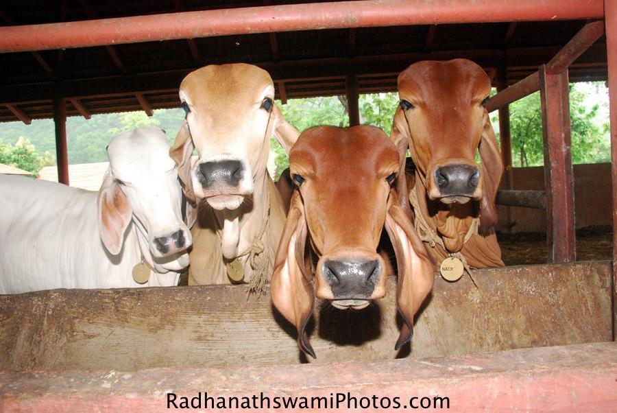 Cows at GEV
