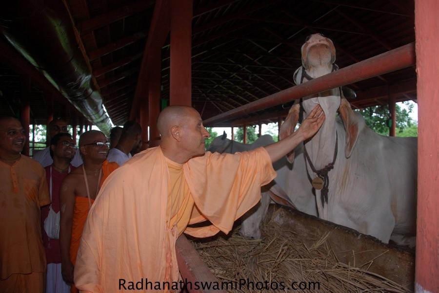 Radhanath Swami Maharaj Caressing the cows