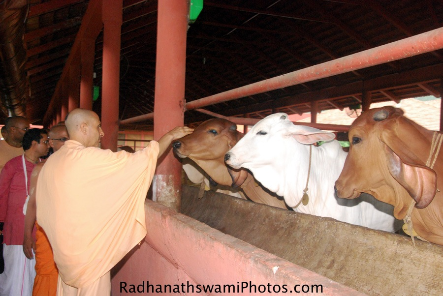 Radhanath Swami caressing the cows at GEV