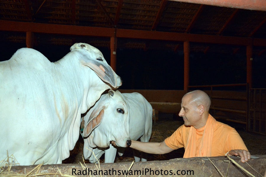Radhanath Swami caressing cows