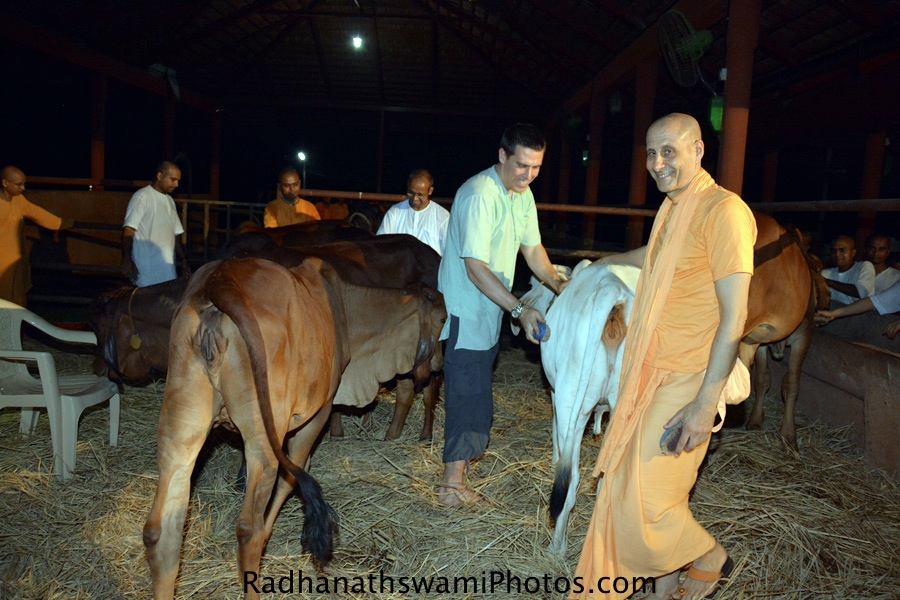 Radhanath Swami with Cows at Gev