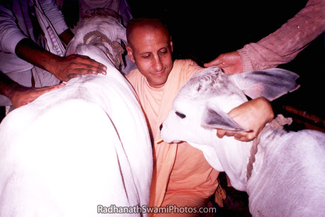 Radhanath Swami Playing With Calves