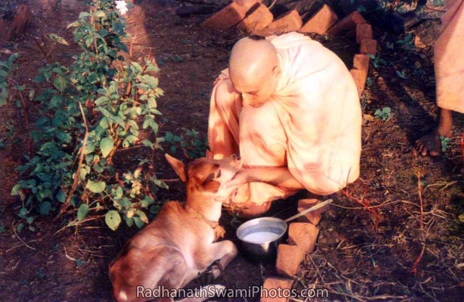 Radhanath Swami Caressing a Calf