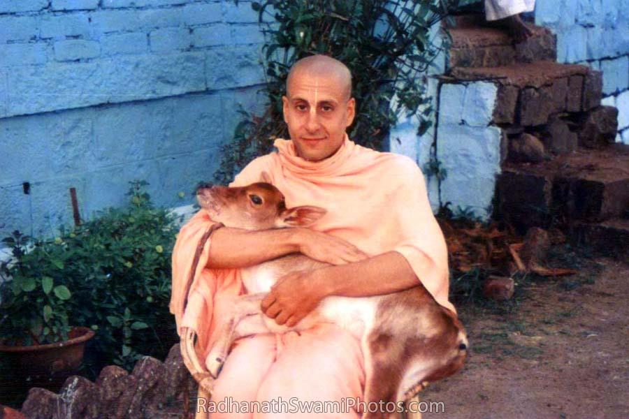 Radhanath Swami Lovingly holding a Calf