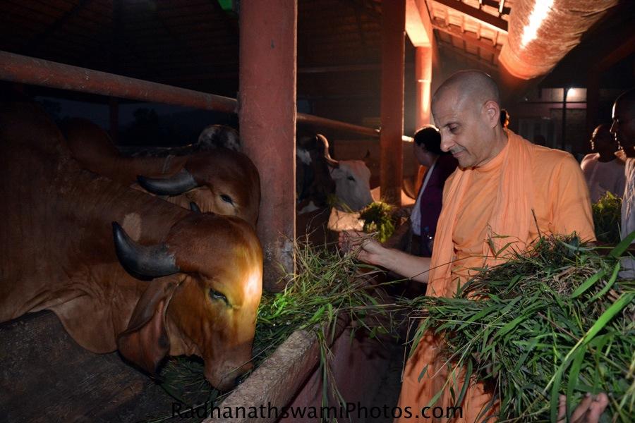 Radhanath Swami feeding grass to cows