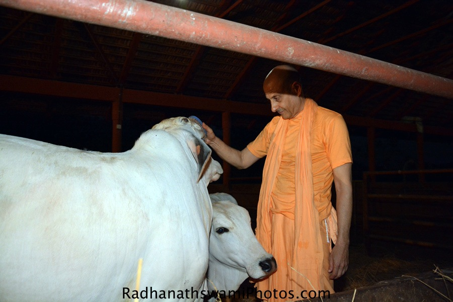 Radhanath Swami with Cows at wada farm